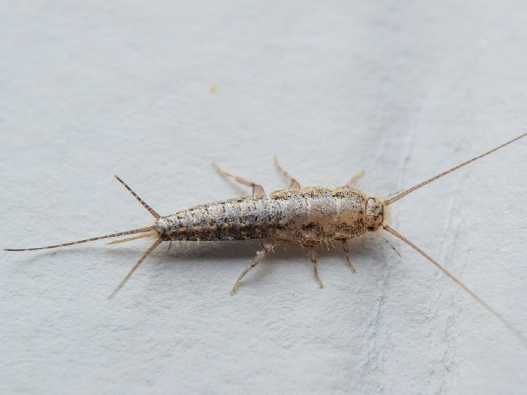 Reliable Silverfish Extermination Services in Tampa & Plant City, FL